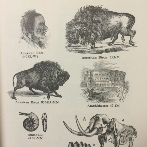 american race:american bison